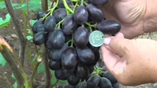 getlinkyoutube.com-виноградник Карпова И.А. Рубель Н.Г.2015г.