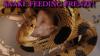 getlinkyoutube.com-SNAKE FEEDING FRENZY! (GoPro Action)