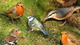 Videos for Cats to Watch : Birds in Woodland Wonderland
