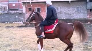 getlinkyoutube.com-سمسم عبدالحميد سلامة لأدب الخيول العربية