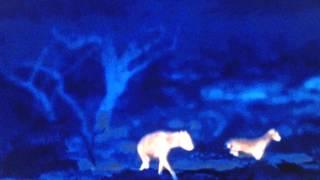getlinkyoutube.com-A Single Striped Hyena Dominates 12 Arabian Wolves