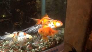 getlinkyoutube.com-Лечение Золотой Рыбки