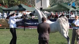 getlinkyoutube.com-الخيول الإماراتية الأصيلة.. هي الأجمل في العالم