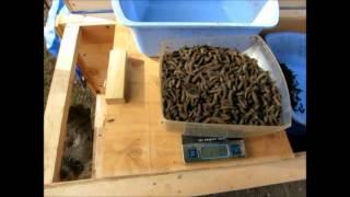 getlinkyoutube.com-One day harvest of mature black soldier fly larvae