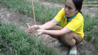 getlinkyoutube.com-สวนเกษตร - ผักปลูกง่าย ต้นทุนต่ำ เก็บผลผลิตได้หลายปี