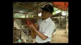 getlinkyoutube.com-Budidaya Ayam Kampung