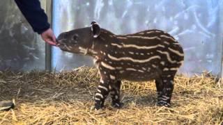 Baird's Tapir Explores His Exhibit