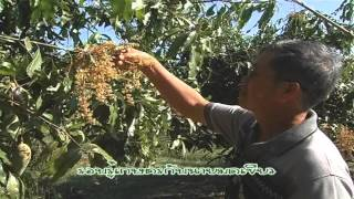 getlinkyoutube.com-มดเขียวจ.ฉะเชิงเทรา มะม่วงน้ำดอกไม้มัน