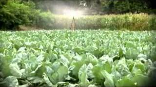 รู้ค่าเกษตรไทย 23 07 55 ผักกาดเขียวปลี