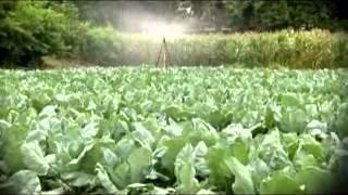 getlinkyoutube.com-รู้ค่าเกษตรไทย 23 07 55 ผักกาดเขียวปลี