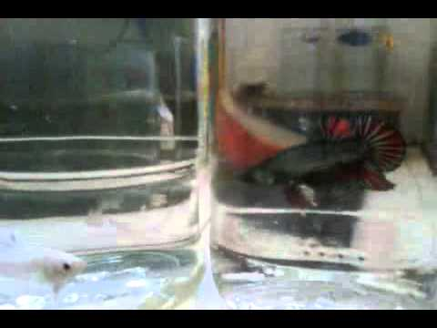 Top ikan cupang - betta fish2