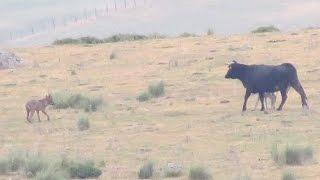 getlinkyoutube.com-Vaca se enfrenta a lobo para defender a su ternero