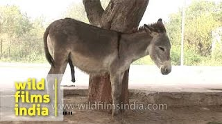 A pair of donkeys on an Indian street
