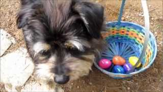 getlinkyoutube.com-Easter Egg Hunt with Koby AKA Puppy Einstein, Happy Easter!