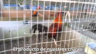 getlinkyoutube.com-2da Presentacion Video de Los Poderosos Gallos C 11   Carlos Villalobos (Venta Internacional)