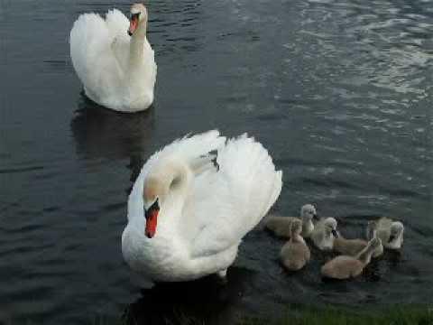 Łabędzia rodzinka [swans family]