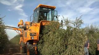 getlinkyoutube.com-Olive harvest