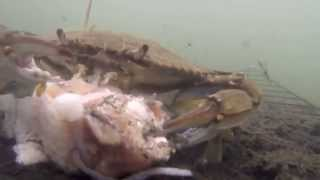 getlinkyoutube.com-Catching Blue Crabs With The GoPro