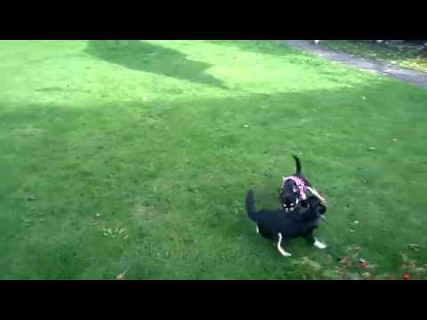 Watch the Chihuahuas Playing in the Garden 5 video
