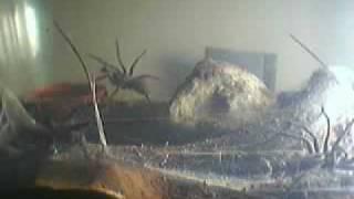 getlinkyoutube.com-Tarantula-Wolf spider- Funnel spider (All together) 2