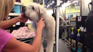 getlinkyoutube.com-Westlake Village Pet Grooming, Trimming the Face on a Wheaton!