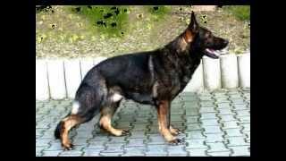 getlinkyoutube.com-Legendary German Shepherd. VITO vom Waldwinkel