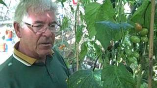 Growing Tomatoes in Greenhouses - Gardening Tips