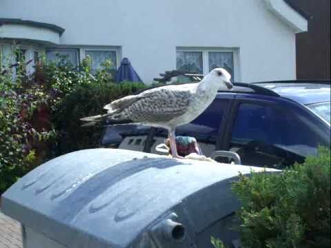 Sub-adult European Herring Gull has found a meal for breakfast