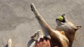 getlinkyoutube.com-無抵抗に甘える柴犬が最高にかわいい Amazing shiba