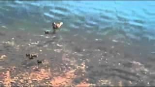 Ördek Yavrusu Yiyen Balık