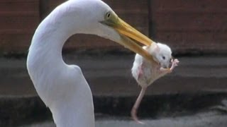 getlinkyoutube.com-EGRET EATS MOUSE