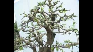 getlinkyoutube.com-Bonsai Part 4 Prestigioso Qu Yi Garden Mr Chengfa Wu