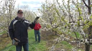 getlinkyoutube.com-Pruning the Mature Cherry Tree on Gisela Rootstock
