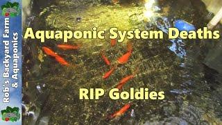 getlinkyoutube.com-Aquaponic system deaths, RIP Goldies...