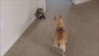 getlinkyoutube.com-Funny Chihuahua and a Ferret Playing