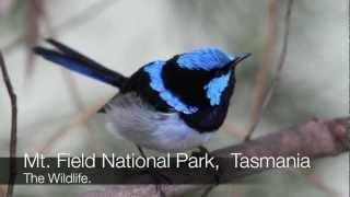 getlinkyoutube.com-Mt. Field National Park Tasmanian wilderness Platypus Native Hen Silver Eye
