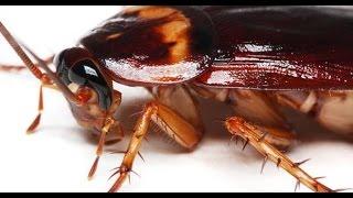 getlinkyoutube.com-هل تعلم ماذا يحدث اذا اختفت الصراصير من وجه الارض سبحان الله لكل كائن دوره فى الحياة