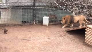 getlinkyoutube.com-Bonedigger the lions playing with his dogs