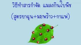 getlinkyoutube.com-วิธีกำจัด แมลงเต่าทอง (สูตรยาเส้น)