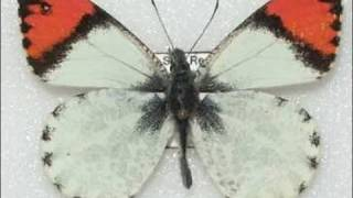 Sara Orange Tip Butterfly Life Cycle 720p HD view on youtube.com tube online.