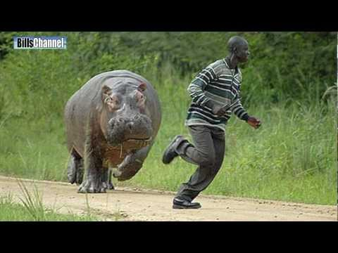 MAN CHASED BY HIPPO ***UGANDA***