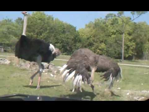 SUCCESSFUL Ostrich Mating Dance Followed by Mating w/ Female
