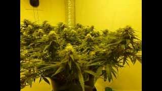 getlinkyoutube.com-Nutrients For Cannabis Success