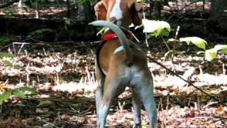 Coleman The American Foxhound Dog barking at deer in the woods.