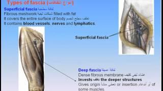 getlinkyoutube.com-05-Skin &Fascia -Anatomy Intro Dr Ahmed Kamal شرح اناتومي للدكتور احمد كمال