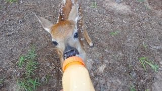 Baby Deer  Almost Dead - Rescued By Th Lighthouse Lady