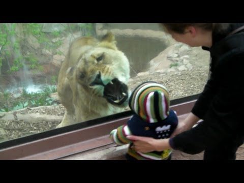 Lioness tries to eat baby at the zoo.