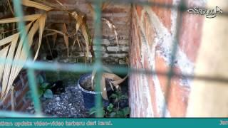 getlinkyoutube.com-Begini Video Indukan Murai Batu Saat Kawin