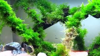 Rêu Weeping - Weeping Moss