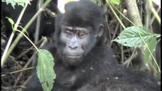 getlinkyoutube.com-Gorilla baby's cutest tree stunt, mom's power display...